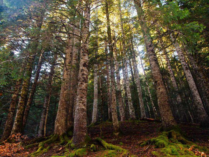 bosque de hayas hayedo